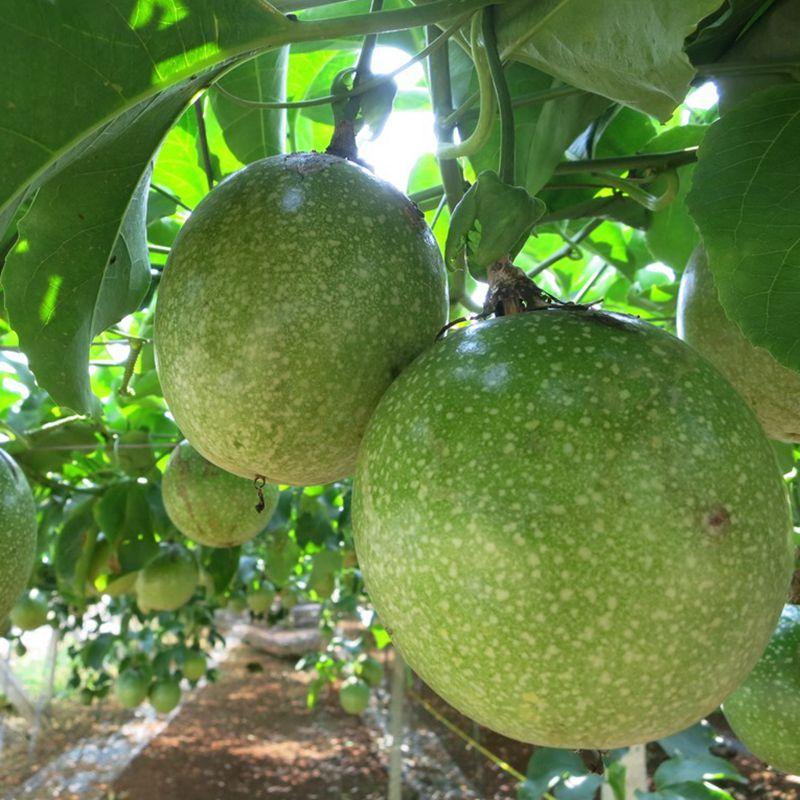 台灣農場趴趴走-[南投]採果體驗-台一生態休閒農場〔蕃茄、百香果、草莓〕