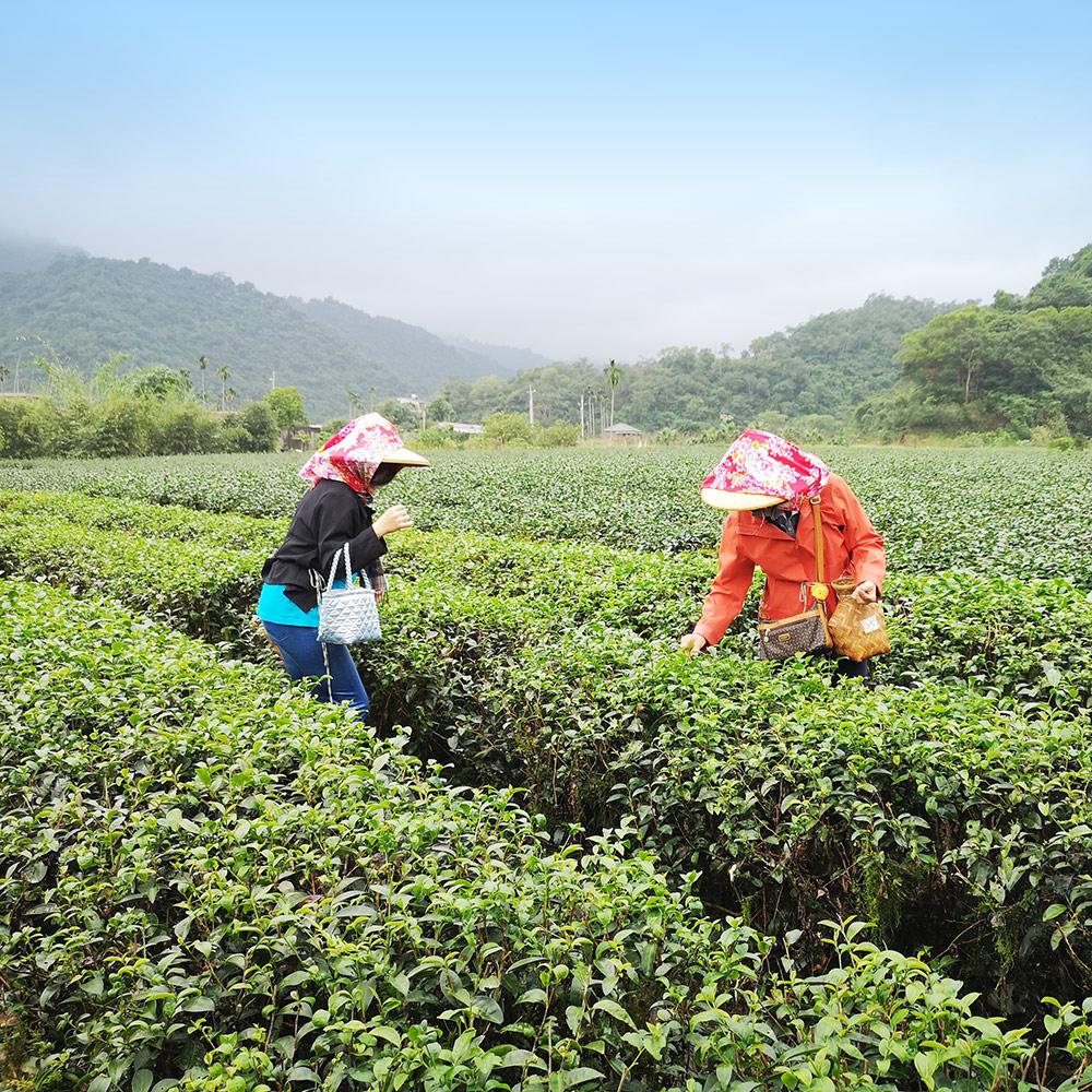 宜蘭冬山-鵝山茶園有機體驗農場(農業體驗)