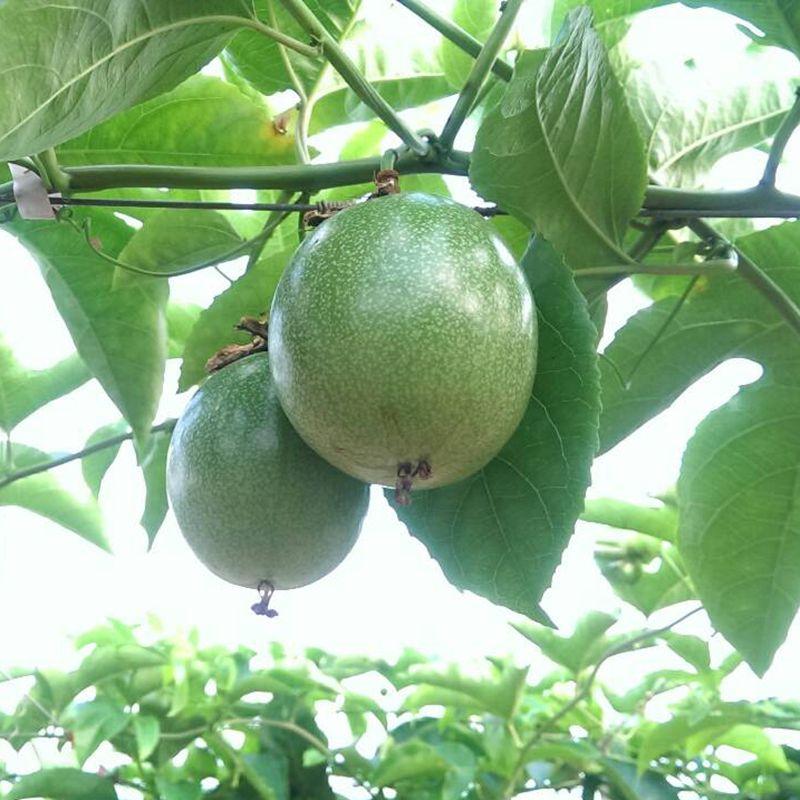 台灣農場趴趴走- [南投]採果體驗-熱情果Hot fruit(大坪頂百香果園)〔百香果〕