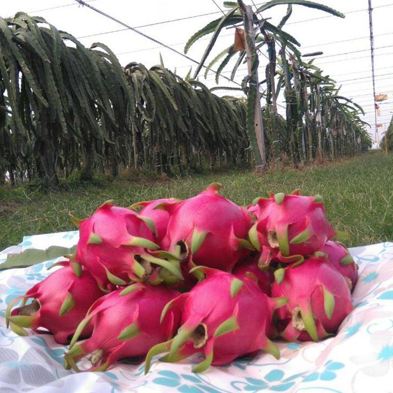台灣農場趴趴走- [彰化]採果體驗-彰化二林開心火龍果園〔火龍果〕