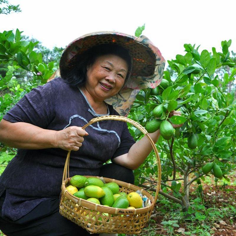 台灣農場趴趴走-[桃園]採果體驗-金湖岸楊梅大王(香檸)